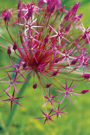allium flowers top allium bulbs for the perennial border garden design