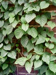 plantfiles pictures japanese climbing hydrangea u0027moonlight