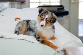 australian shepherd kid friendly miniature australian shepherd dog breed everything about mini