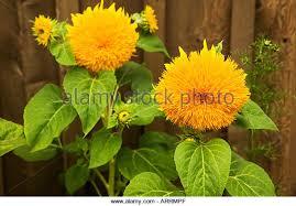 teddy sunflowers teddy sunflower stock photos teddy sunflower stock