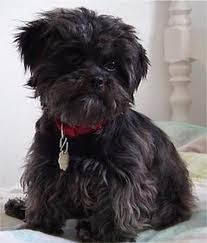 affenpinscher havanese mix affenpoo dog mix of affenpinsher and poodle