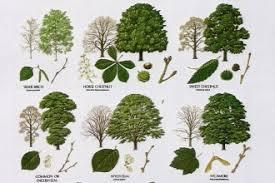tree leaf names 7 leaf tree id key review biological science