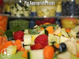 foods that are appropriate to feed mini pigs mini pig info