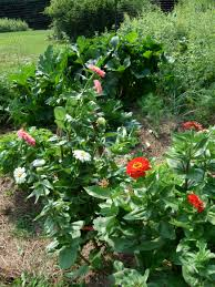 zinnias keeping company with a variety of vegetables in a backyard