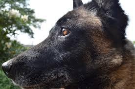 belgian malinois en espanol free photo shepherd dog belgian malinois dog free image on