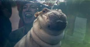 si e social hippopotamus cincinnati zoo captures fiona the hippo passing gas