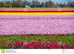 spring tulip fields in holland flowers in netherlands stock photo