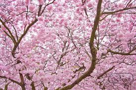cherry blossom tree 桜 cherry blossoms and blossom trees