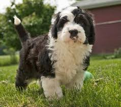 poodle x australian shepherd rocco the sheepdog mix puppies daily puppy