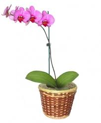 orchid plants potted orchid plant blooming plant all house plants flower