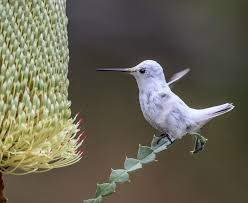 plants that are native to australia rare white hummingbird steals the spotlight at california garden