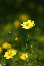Yellow Flower - best 25 yellow flowers ideas on flowers yellow