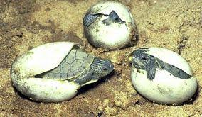 map turtle biokids inquiry of diverse species graptemys geographica