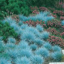 favorable 100pcs blue fescue grass seeds perennial hardy