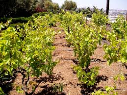 vineyards and winepresses