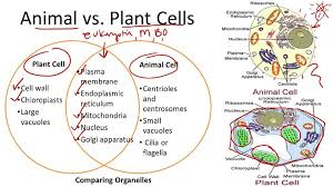 30 human cell parts diagram structure parts and functions