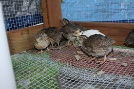 are my 3 1 2 week quails male or female backyard chickens