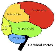 Thalamus Part Of The Brain Consciousness An Introduction To Brain Anatomy