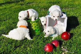 bichon frise whining how to choose and buy the bichon frise puppy prospe fortu