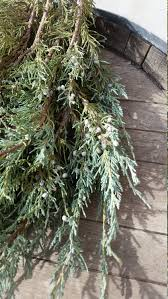 skyrocket juniper branches fresh cut evergreen home decor