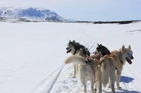 siberian husky tour dog sledding in the myvatn area siberian
