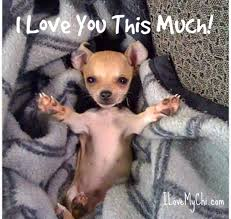 Funny Chihuahua Memes - i can see my pup doing this pinteres