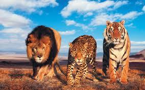 high def desktop backgrounds glowing lion and tiger hd desktop wallpaper high definition