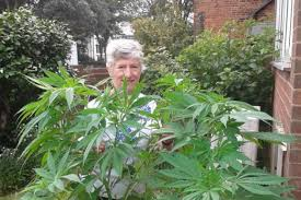 cannabis im garten de juan pardo rentnerin z禺chtet versehentlich hanf im garten