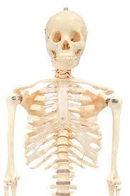 Anatomy Of The Human Skeleton Anatomy Model Skeleton Budget Bucky 1st Quality W Stand