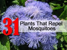 mosquito plants 31 plants that repel mosquitoes