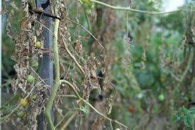 Tomato Plant Wilt Disease - top 5 u2013 ways to kill a tomato plant suburban tomato