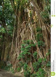 indian rubber tree ficus elastica stock photo image 64225172