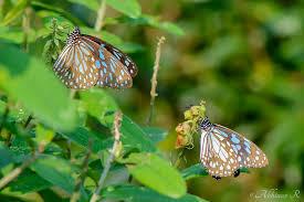 blue tiger tirumala limniace photovaliant