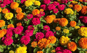 Zinnia Flowers How To Grow Zinnia Flowers And Zinnia Care Biocarve Seeds