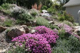 aethionema u0027warley rose u0027 north american rock garden society