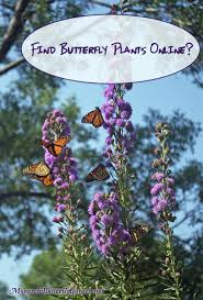 native plants that attract butterflies 7 helpful tips for where to buy milkweed online