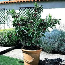 patio fruit tree item number cheap patio fruit trees uk mackageshop us