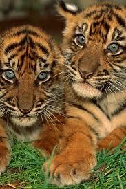 best 25 tiger images ideas on pinterest tiger pictures tiger