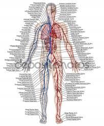 Human Anatomy Quizes Blood Vessel Anatomy Diagram Human Anatomy Lesson