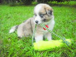 australian shepherd puppy 4 months border collie great pyrenees u003d my puppies adopted the dog