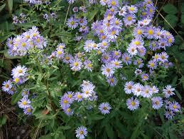 sacramento native plants aster chilensis ii california native plants garden
