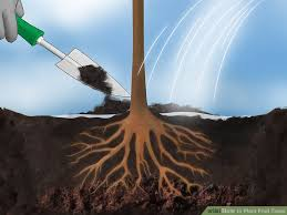 how to plant fruit trees with pictures wikihow