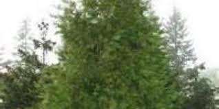 meet the incense cedar tree