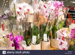 orchids for sale phalaenopsis orchids for sale in m s store bristol uk stock
