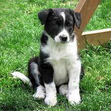 australian shepherd beagle mix choosing collie and shepherd crosses puppies for sale dogs for