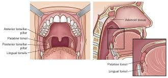 Parts Of The Face Anatomy Tonsil Cancer Head And Neck Cancer Info For Teens