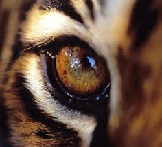 tiger eye closeup onlypencil drawing tutorials