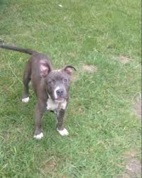 american pitbull terrier webbed feet is my pit bull full blooded thriftyfun