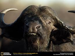 buffalo picture buffalo desktop wallpaper free wallpapers