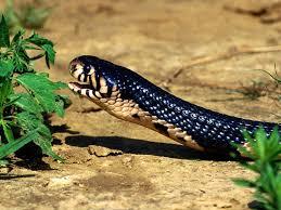 lovable images cobra snakes wallpapers cobra snake free